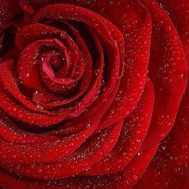 custom_rose