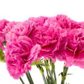 carnation-flower
